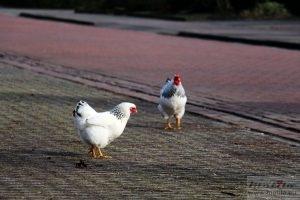 Chickens in Emmen